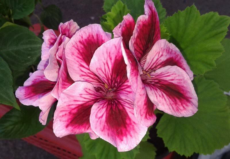 Ценится растение в первую очередь за крупные, яркие цветы