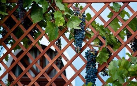 Пергола для винограда - красивая и функциональная постройка