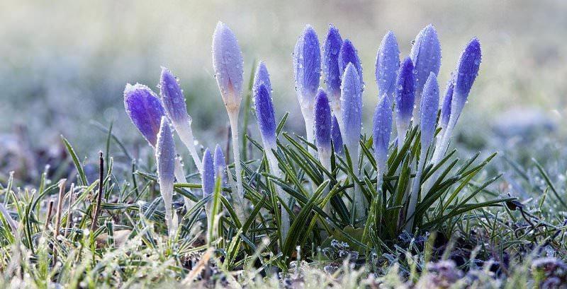 Первоцветы: изящные вестники весны на своем участке