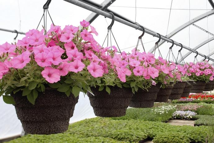 Любой садовод согласиться с тем, что ухаживать за петунией намного легче, чем, скажем, за розой или ёлкой