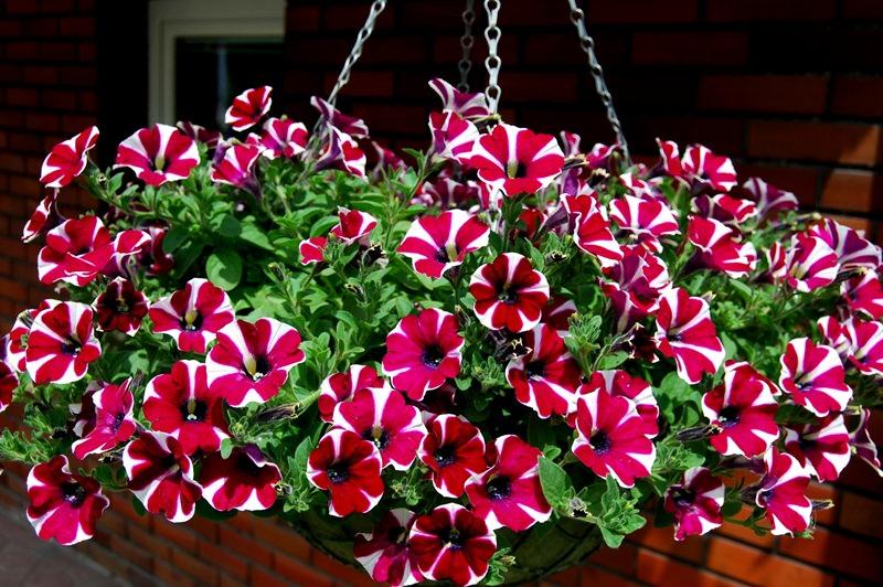 Украшаем сад цветками петунии