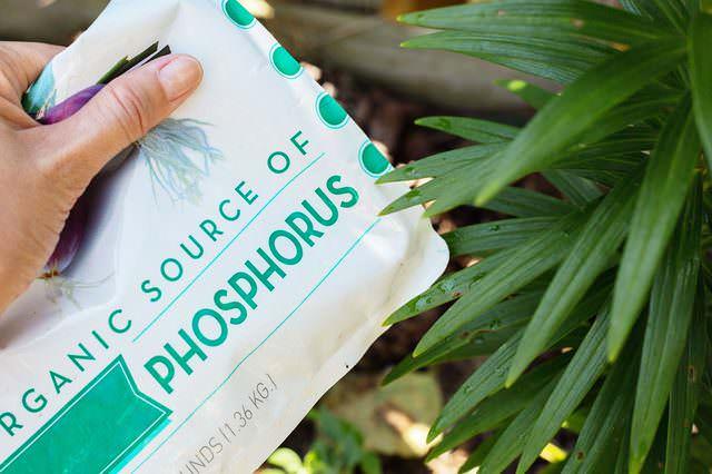На стадии активной бутонизации для подкормки лилии рекомендуется применять азотно-фосфорные удобрения