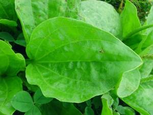Подорожник большой относится к категории лекарственных растений