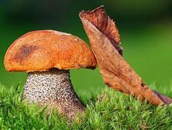 Подосиновик – популярный гриб среди любителей тихой охоты