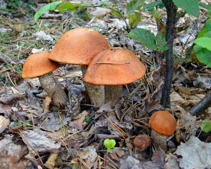 Чаще подосиновик растет под осинами и тополями, а также может образовать микоризу и с дубовыми, буковыми, березовыми посадками
