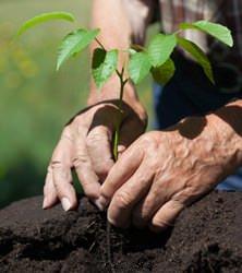В большинстве регионов России обычно выполняется посадка саженцев плодовых деревьев весной