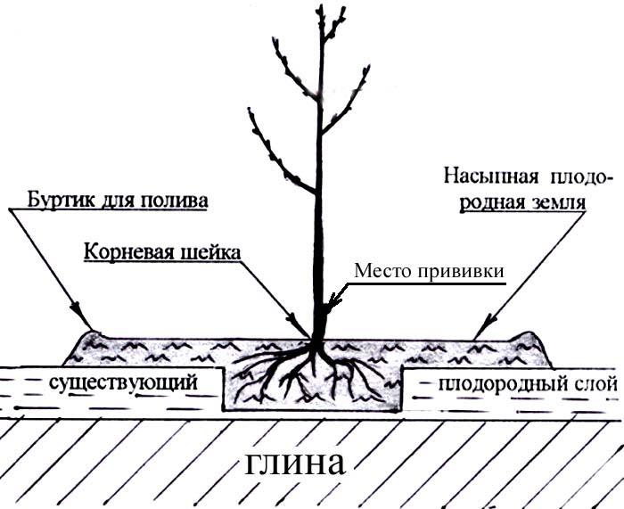 Лучшим вариантом будет высаживание растений на легких песчаных грунтах с хорошим уровнем водопроницаемости