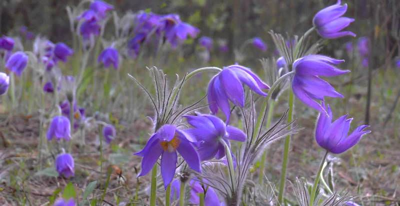 Цветок прострел: плюшевая нежность на садовом участке