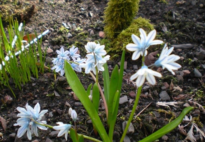 Как вырастить миниатюрное растение «Пушкиния» на своем участке