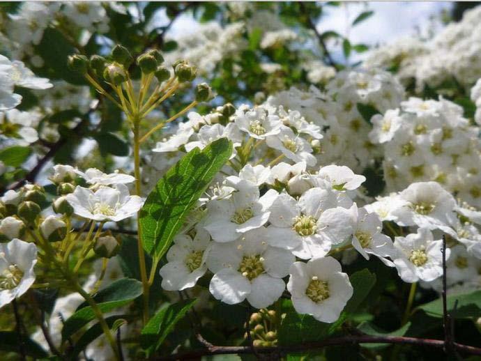 Спирея Вангутта: снежная лавина из цветов