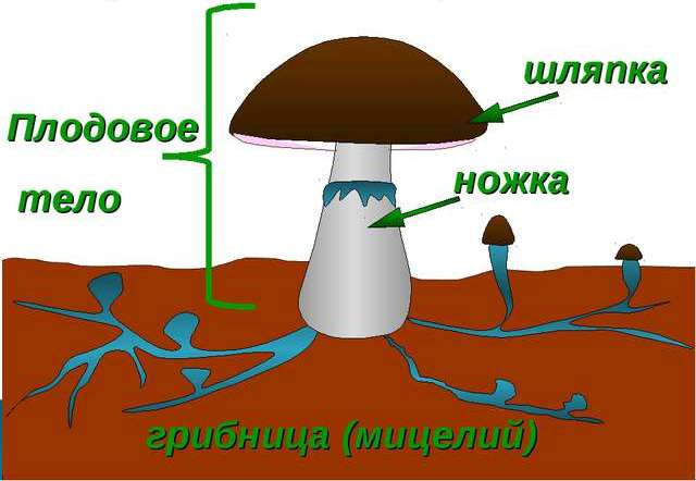 функции грибницы