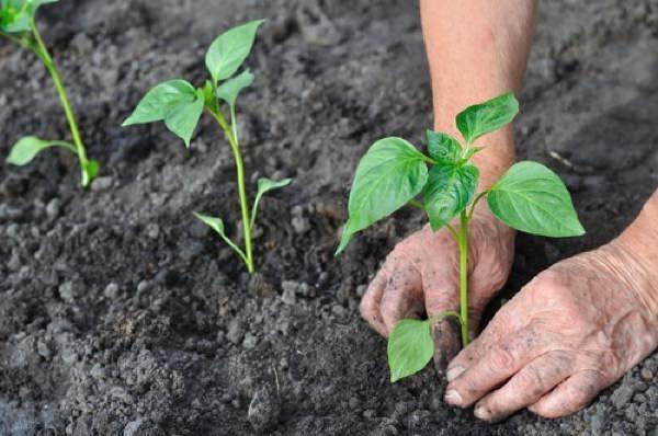 На тепличные гряды рассаду перца нужно высаживать в последней декаде апреля