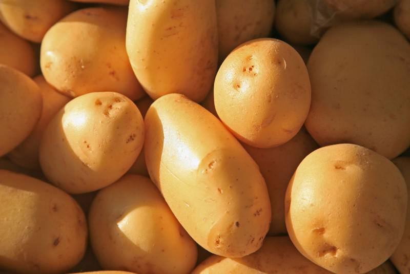 Приобрести семенной картофель можно в любом специализированном питомнике