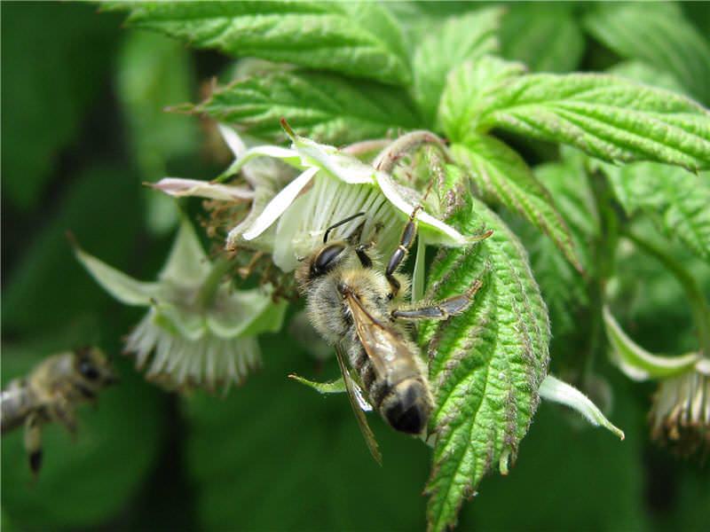 Малина относится к числу медоносных садовых растений – с каждого гектара ягодных насаждений пчелы способны собирать порядка 50 кг меда