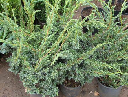 Можжевельник — популярная и декоративная порода кустарника