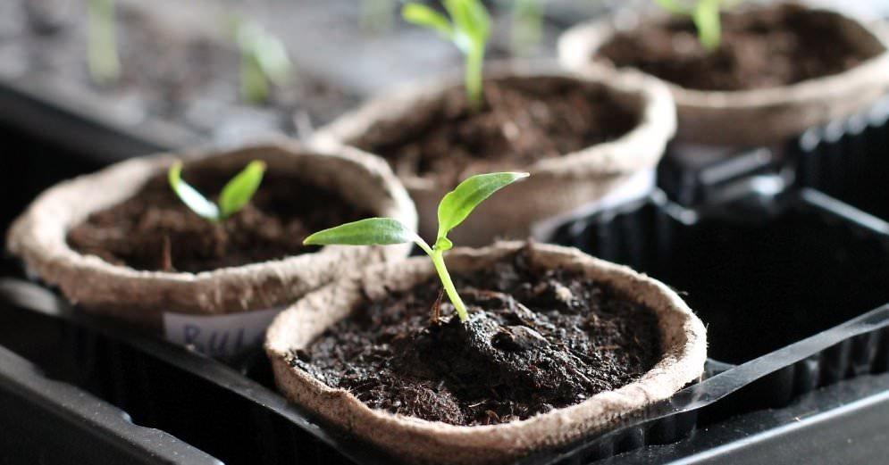 Отстающие в росте и развитии сеянцы можно однократно подкормить раствором на основе коровяка или птичьего помета