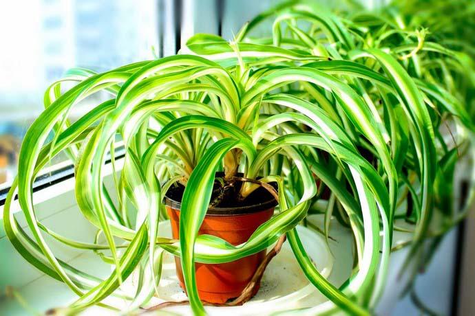Хлорофитум — представитель рода травянистых многолетних растений