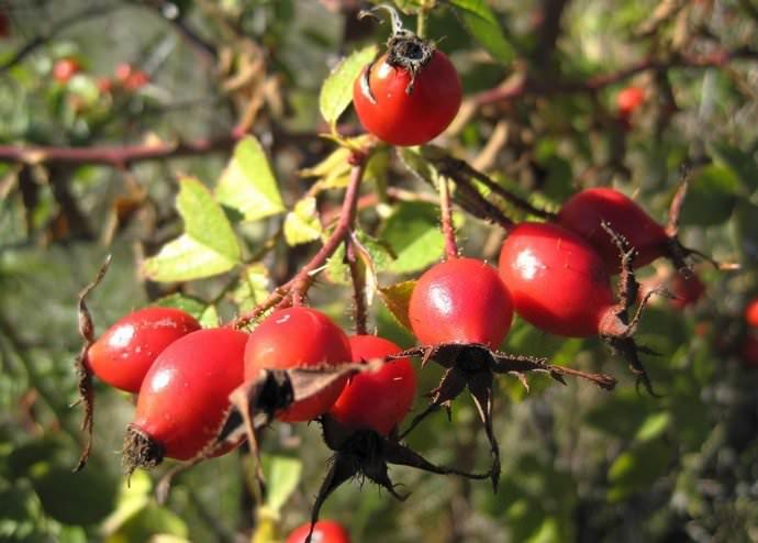 В составе ягод шиповника присутствует значительное количество витаминов, поэтому растение является достаточно эффективным средством против авитаминоза