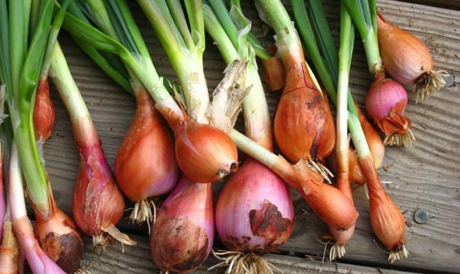 Культивирование шалота с целью получения витаминной зелени и репки имеет много общего с выращиванием репчатого лука