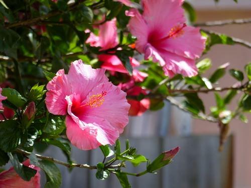 Гибискус очень популярен среди садоводов