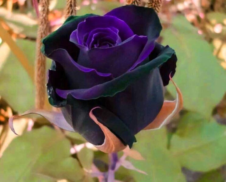 Розарий своими руками: выращивание садовых роз