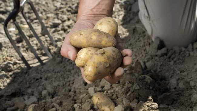 Очень важно успеть выкопать картофель в сухую осеннюю погоду
