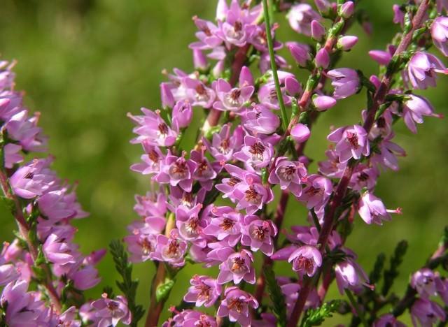 Цветение у вереска привлекательное, лилово-розовыми цветками