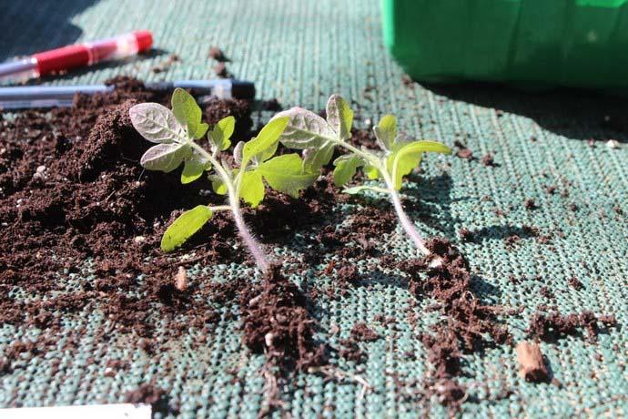 Пикировать молодые сеянцы следует на стадии образования двух настоящих листьев