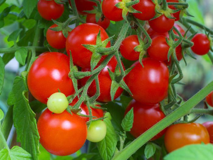 К основным достоинствам гибридного томата Интуиция можно отнести очень высокий уровень урожайности и товарность собранных плодов