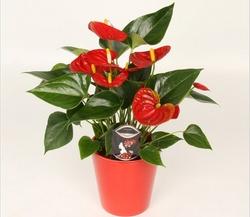 Антуриум относится к роду вечнозелёных растений и семейству Ароидные