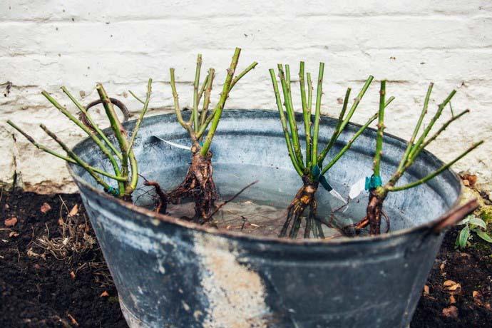 Саженцы с открытой корневой системой перед высаживанием следует замочить в воде с любым стимулятором роста