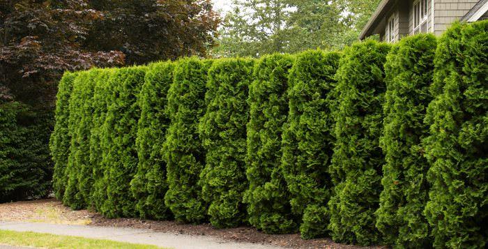 Создать живую изгородь можно и при помощи лиственных растений