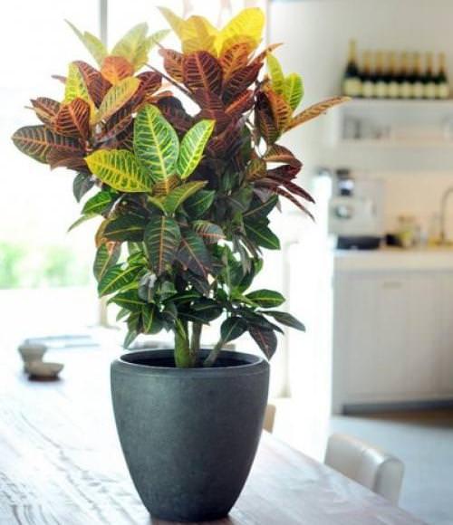 Кодиеум является вечнозеленым многолетним кустарниковым растением