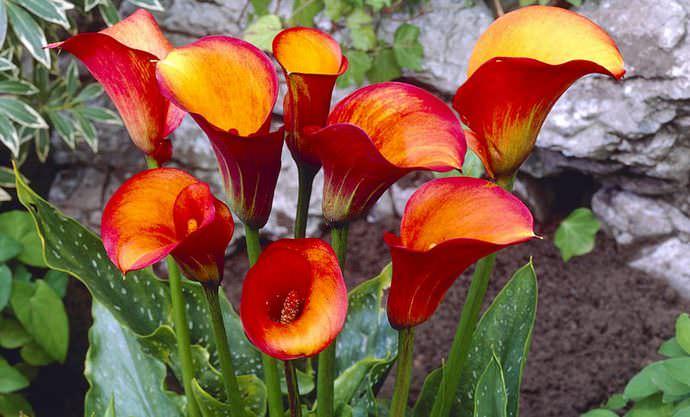 Калла, как клубневая, так и корневищная, предпочитает расти на хорошо освещенном месте