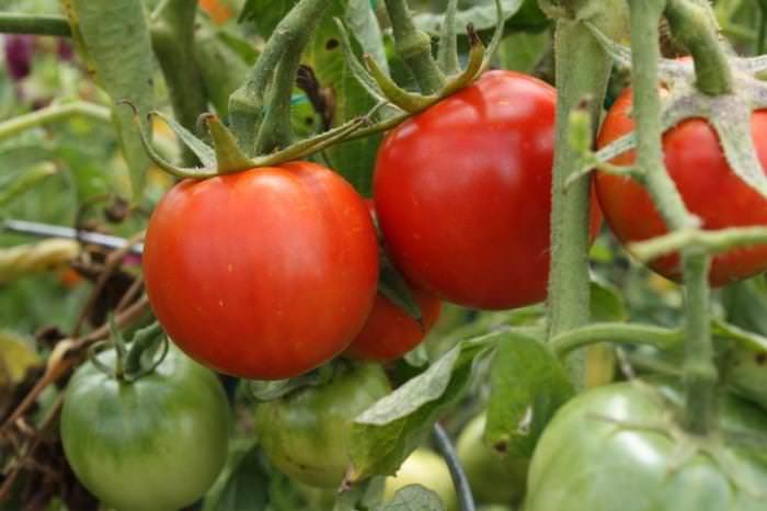 Урожай томатов Взрыв вызревает не только быстро, но и очень дружно
