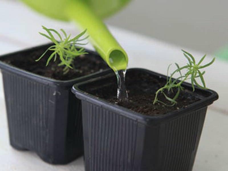 Выращивание кохии производится рассадным способом