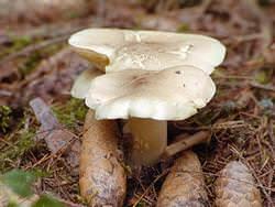 Рядовка – достаточно распространенный пластинчатый напочвенный гриб из семейства Рядовковых