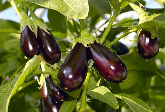 При выращивании рассадным способом растения получаются сильные, мощные и прямостоячие