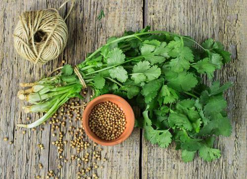 Кинза относится к пряно-ароматическим однолетним растениям
