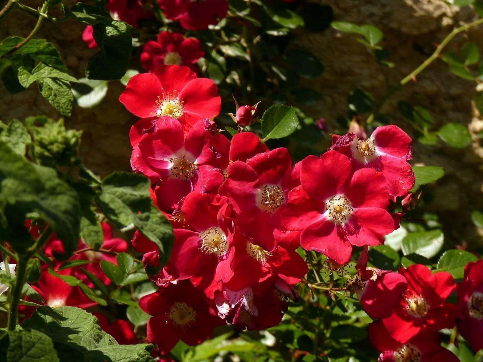 Популярный у цветоводов-любителей сорт «Candia Meillandecor» достаточно быстро растет, и может великолепно смотреться как на склонах, так и в рокариях