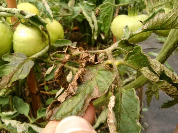 Нехватка азота, а также нарушение температурного режима и неправильное осуществление оросительных мероприятий вызывают увядание, пожелтение и опадание листьев на томатных кустах