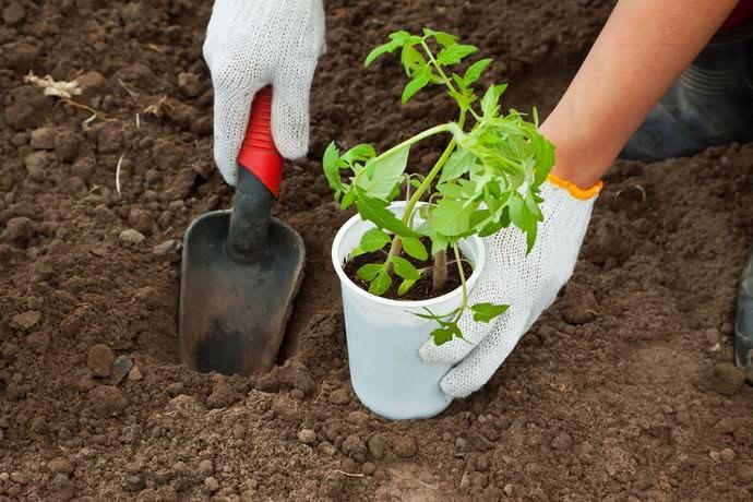 Рассаду томата Мишка косолапый в возрасте двух месяцев нужно высаживать на тепличные гряды