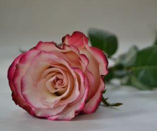 Роза Свитнесс является достойным украшением садовых участков