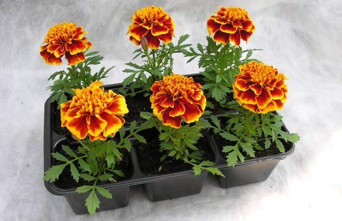 Для получения раннего цветения бархатцы размножают рассадным способом