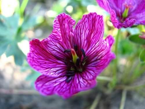 Герань очень популярна среди садоводов