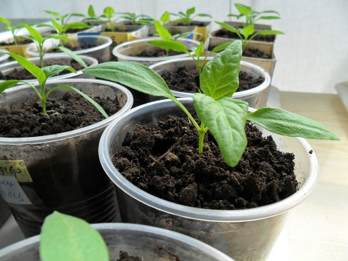 Выращивание перца, как сладкого, так и острого в условиях Подмосковья возможно только через рассаду