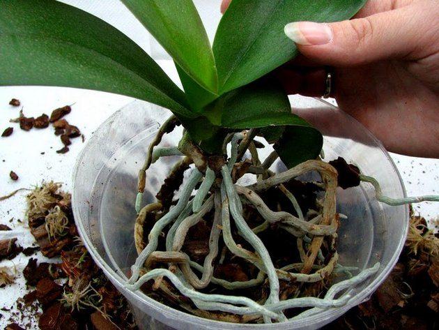 Периодически в период покоя необходимо пересаживать орхидею в горшок диаметром на 2 см больше предыдущего со слоем дренажа