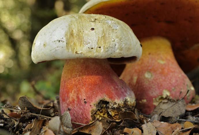 Грибы рода Боровик чаще всего представлены в наших лесах двумя основными видами: сатанинский гриб и ложный сатанинский гриб