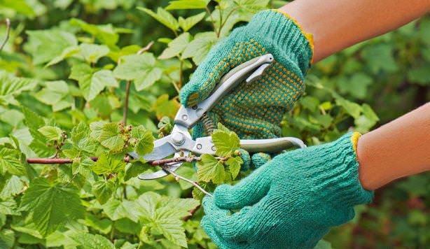 Опрыскивание смородины весной и осенью: от вредителей и болезней, железным купоросом, народными средствами, до распускания почек, после цветения, плодоношения