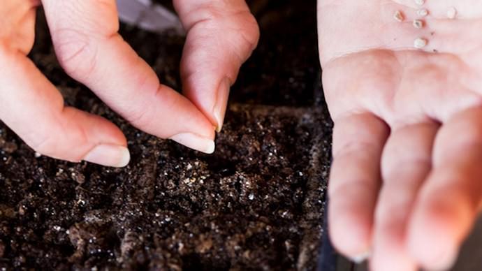 Посев семян томата на рассаду нужно производить примерно за 50−55 дней до высаживания на гряды открытого грунта